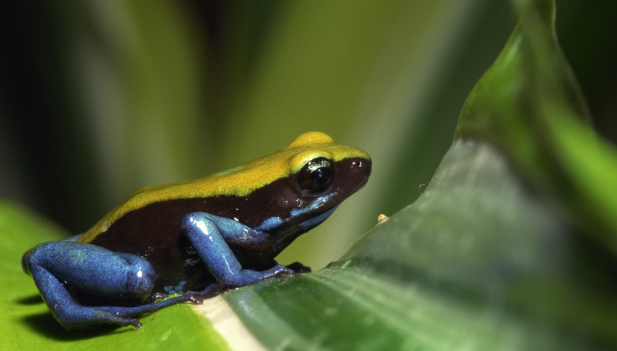 Poison dart frogs show commenalism with vermiliad.
