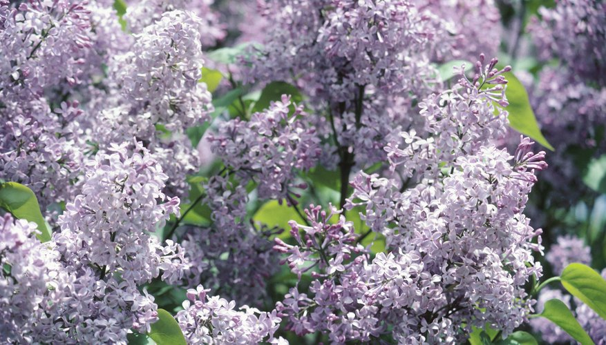 The Japanese lilac has fragrant, creamy white flowers