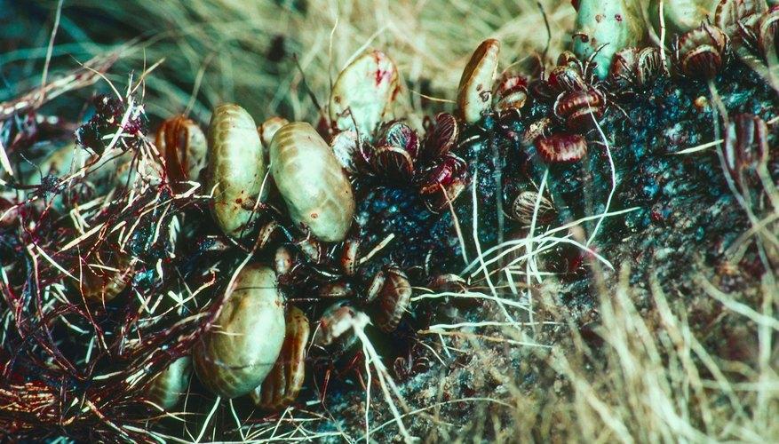 A close-up of ticks living in long grass.