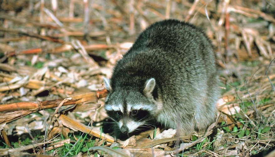 Raccoons can literally turn over lawns digging for grubs to eat.