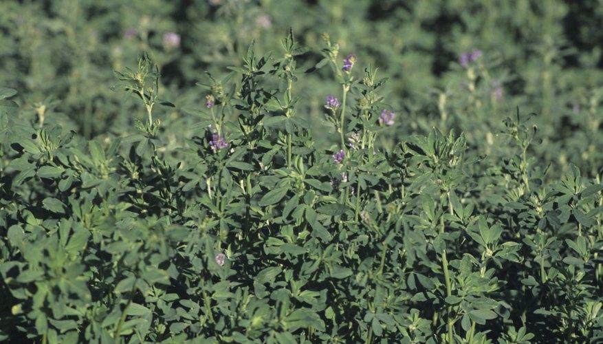 Los campos de alfalfa a menudo tienen larvas de gorgojo en mayo y junio.