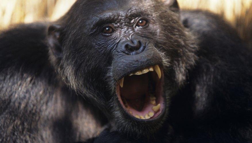 Chimpanzee teeth.