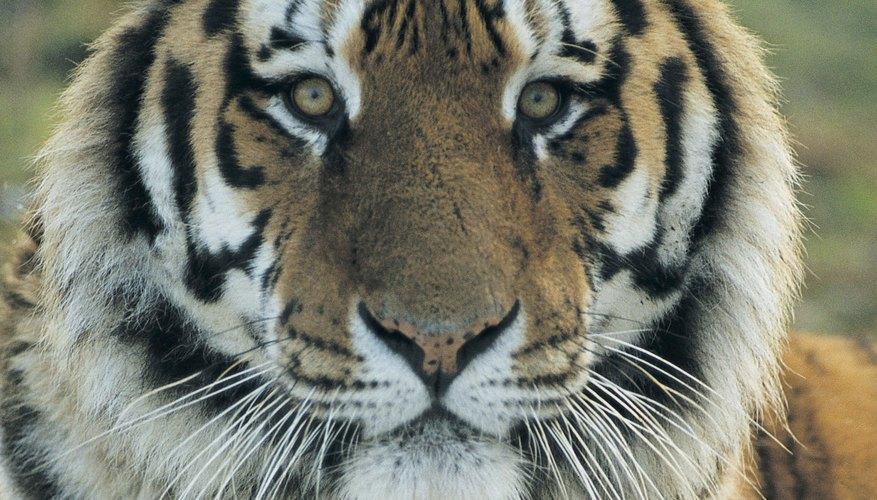 Los tigres tienen sentidos agudos.