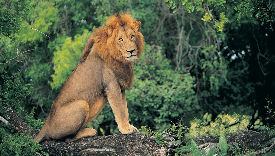Lions commonly shelter in heavy vegetation or amid boulders.