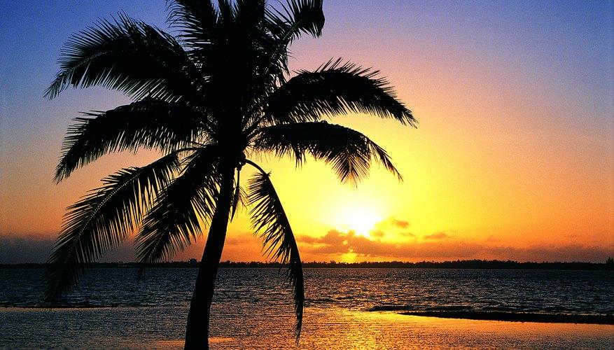 Palmera tropical.