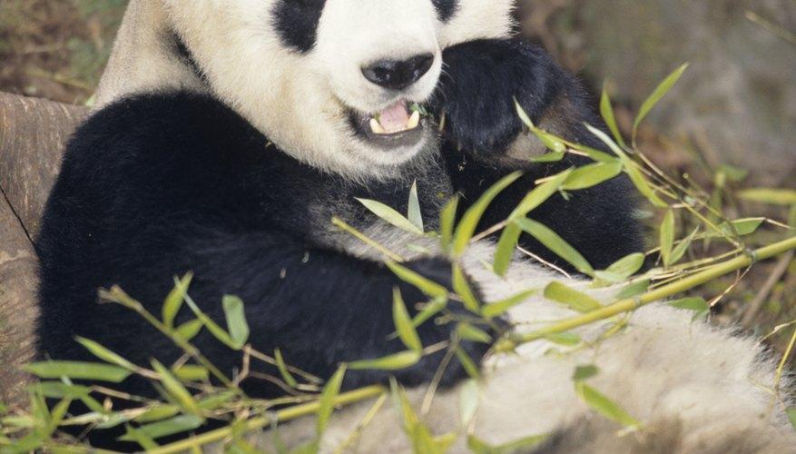 Los pandas gigantes suelen utilizar sus molares para triturar el bambú en partes comestibles.