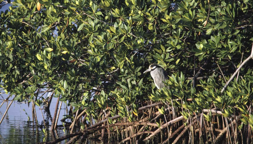 Mangrove tree.