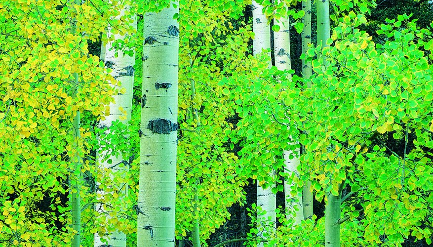 Aspens feature straight trunks and often grow in pure stands.