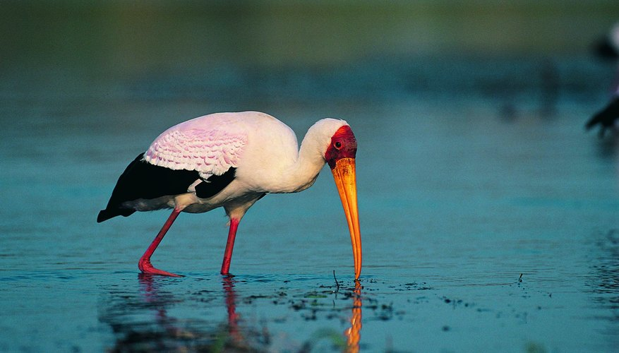 Storks can be indicator species of wetlands and wetland health.