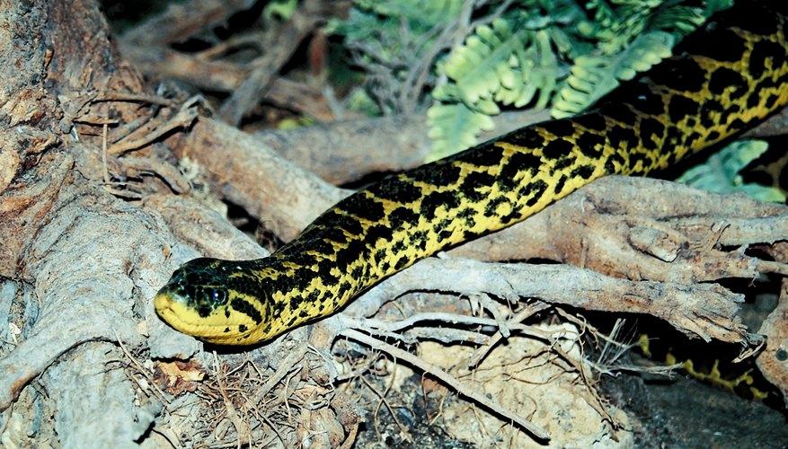Anacondas use camouflage to deceive prey.