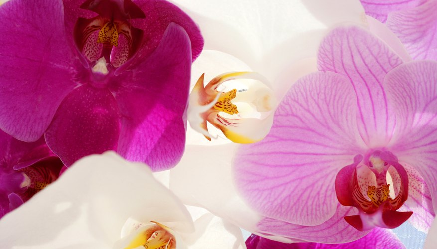Phalaenopsis orchids are commonly called moth orchids.