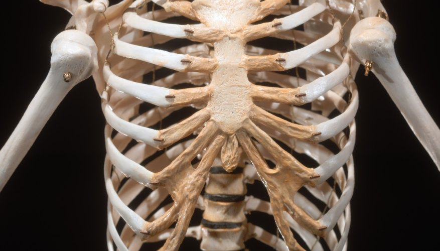 The Major Components Of The Skeletal System Sciencing