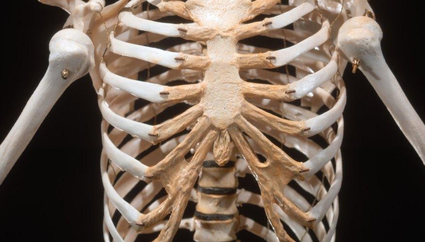 Bony thorax