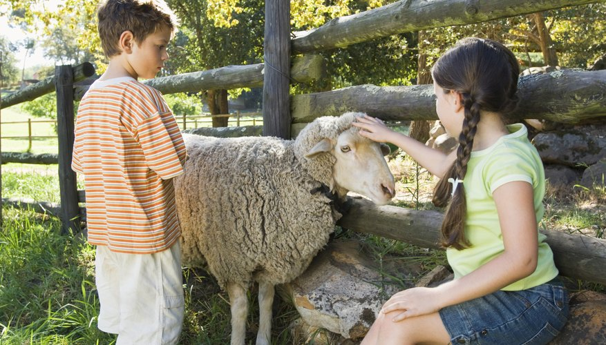 How to Put on a Sheep Halter