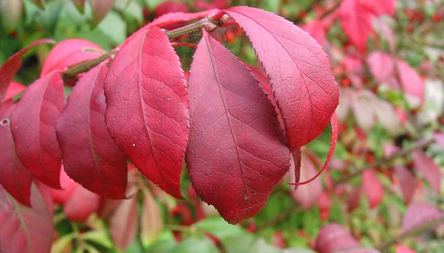 The red leaves of a burning bush plant.