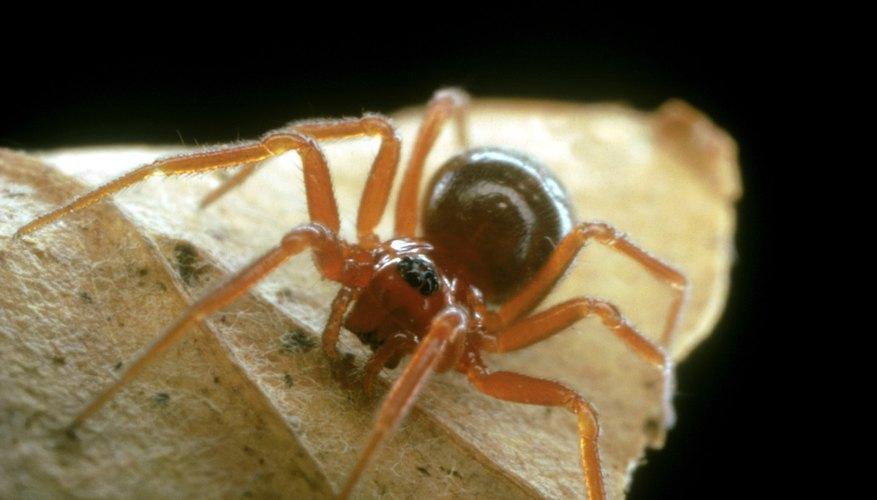 → Cómo identificar a las arañas marrones | Geniolandia