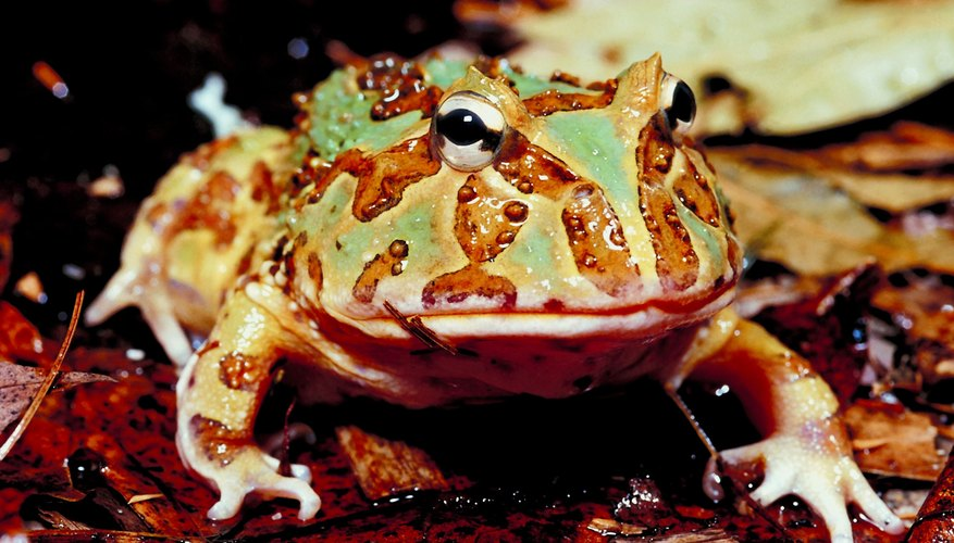 Horned frogs have ridges or bumps on their heads resembling horns.