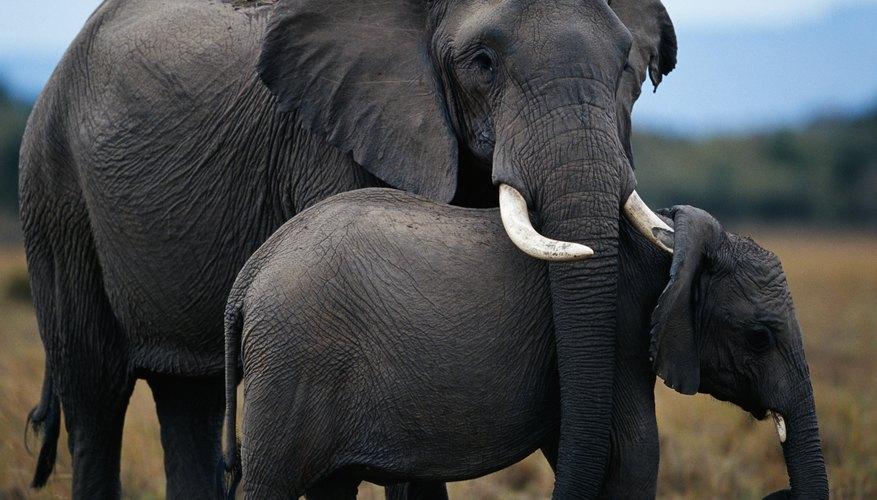 El marfil verdadero viene de los colmillos de un elefante o mamut.