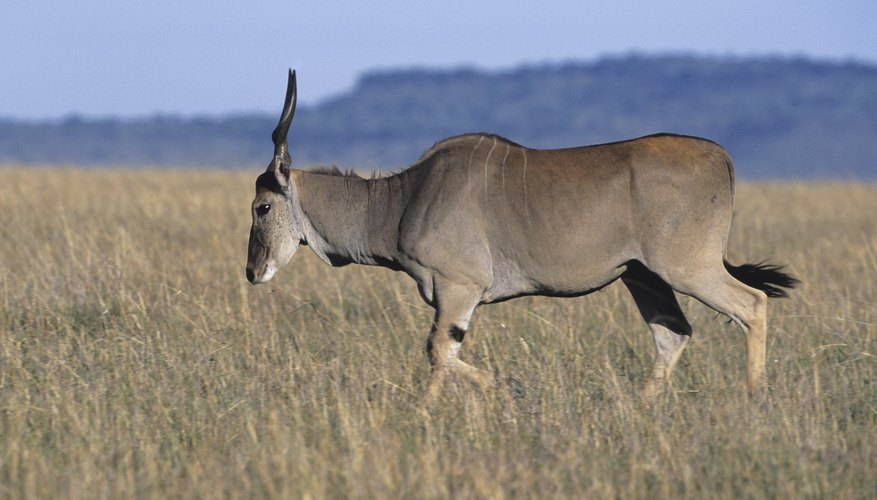 Elands are a herbivorous species in Africa's tropical savanna.