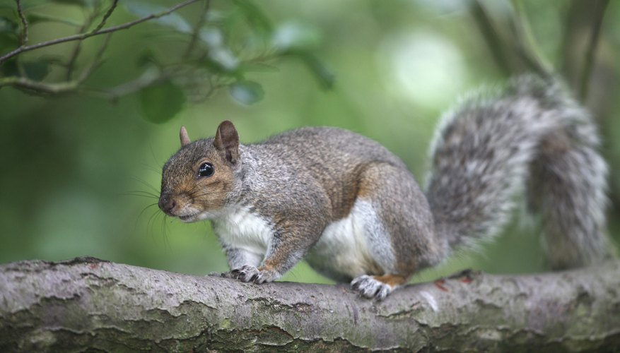Eastern gray squirrels are a species of tree squirrel found throughout the U.S.
