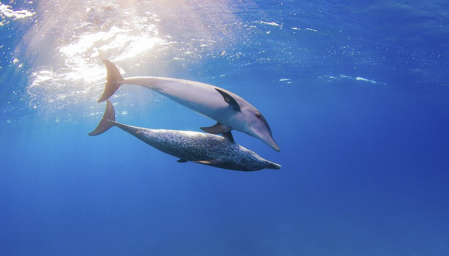 Two dolphins swim in the ocean