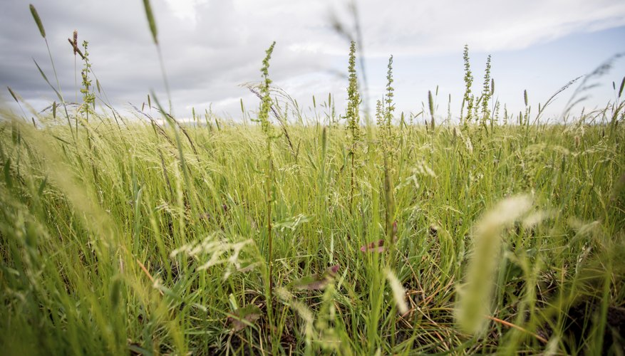 A field of teff grass growing in Ethiopia.