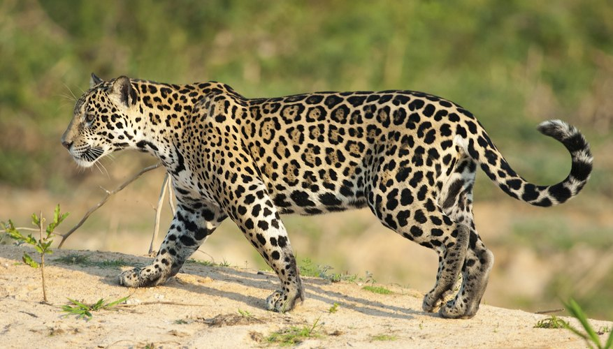 Why are jaguars endangered animals sciencing while the jaguar tops the list of the largest cats in the western hemisphere at an average length of about 2 meters 6 12 feet and a weight of about 80 voltagebd Gallery