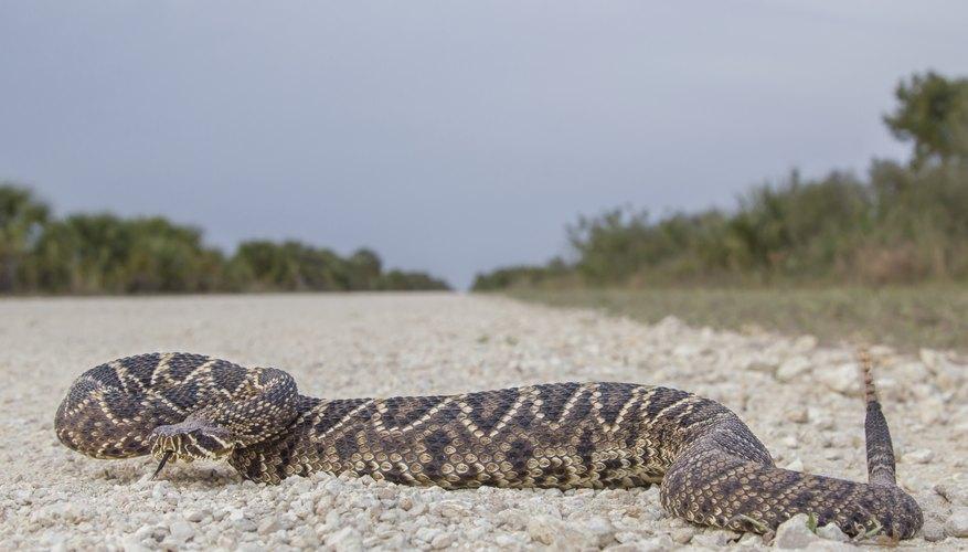 Eastern Diamondback Rattlesnake on beach road