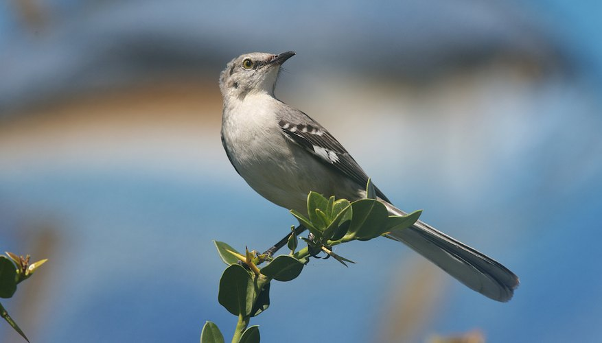 Mockingbird perched on a tree branch