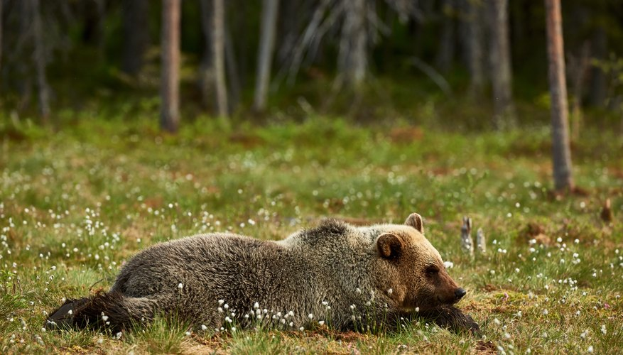 A brown bear lying in a patch of tiny white flowers in the taiga