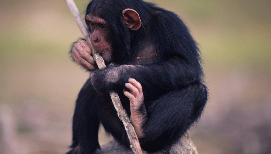 A chimp's foot.