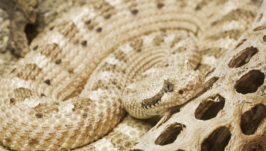 140374875 sidewinder snake adaptations sciencing