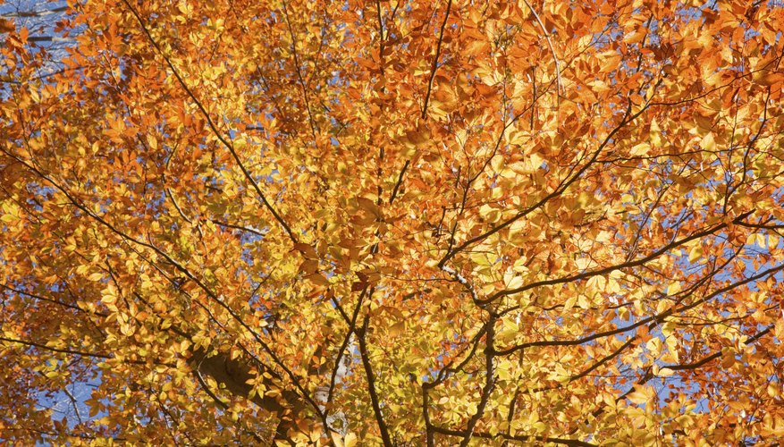 Fall leaves of a american beech