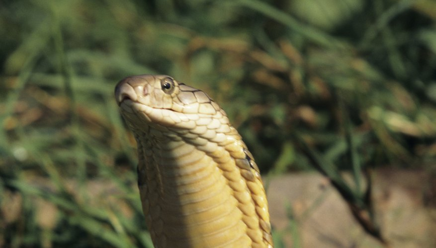 Though rarely seen, king cobras are native to the Philippines.