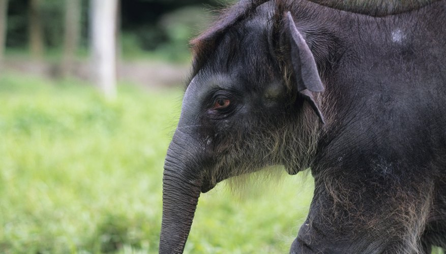 Critically endangered in Bangladesh, Asiatic elephants inhabit evergreen forests. .