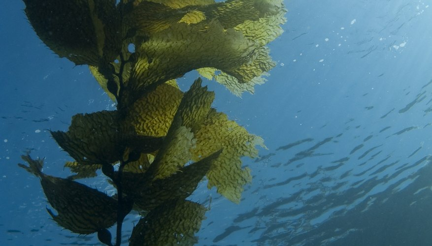 Seaweed growing underwater.