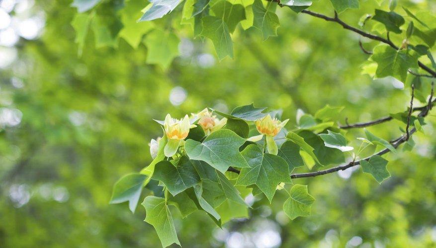 A tulip poplar tree in bloom