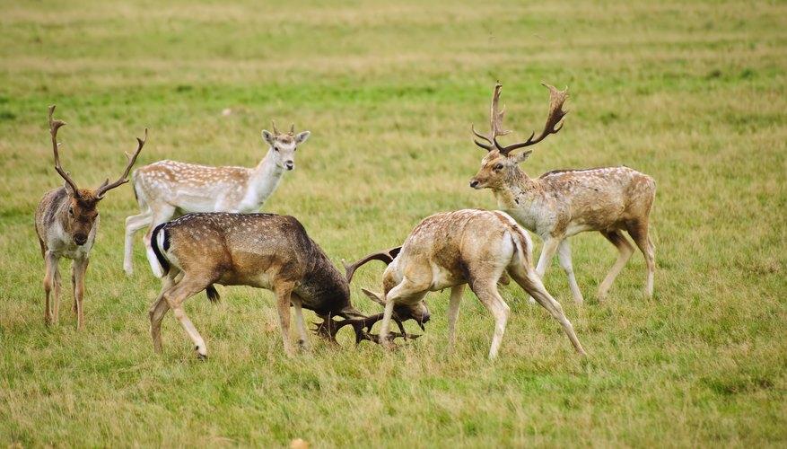 group of male deer sparring