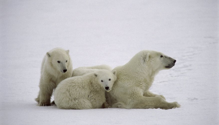 A polar bear and its cubs.