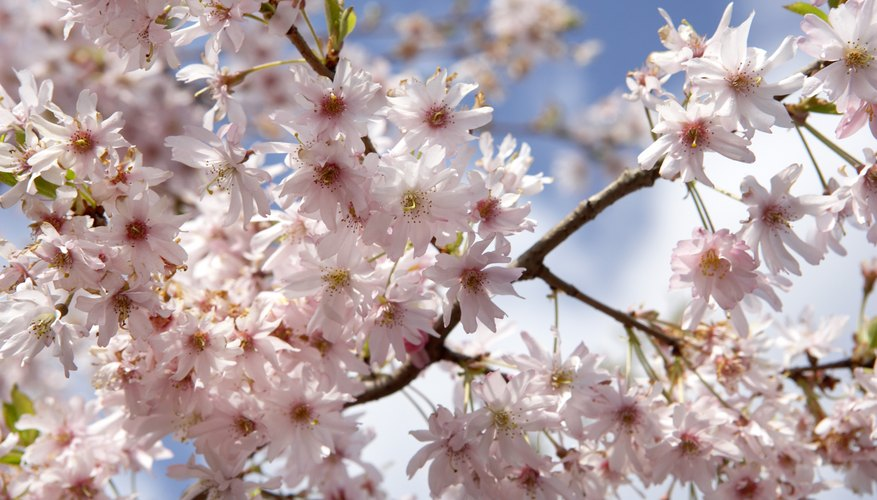 Cherry blossoms are an important flower in Japan.