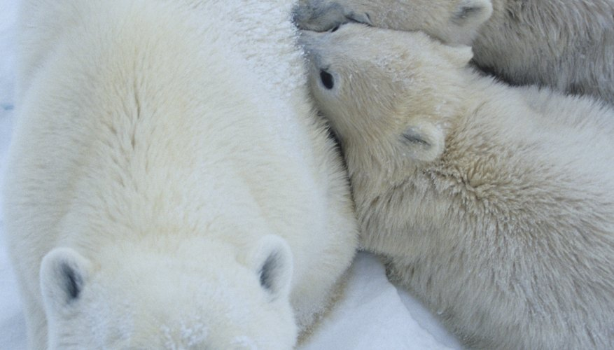 As top predators in a food chain, polar bears experience bioaccumulation of toxins and pass them on to their cubs in their milk.