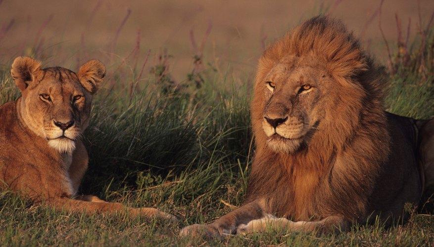 Los parientes cercanos del león africano una vez vivieron en casi todas partes en la Tierra, desde Australia a Canadá.