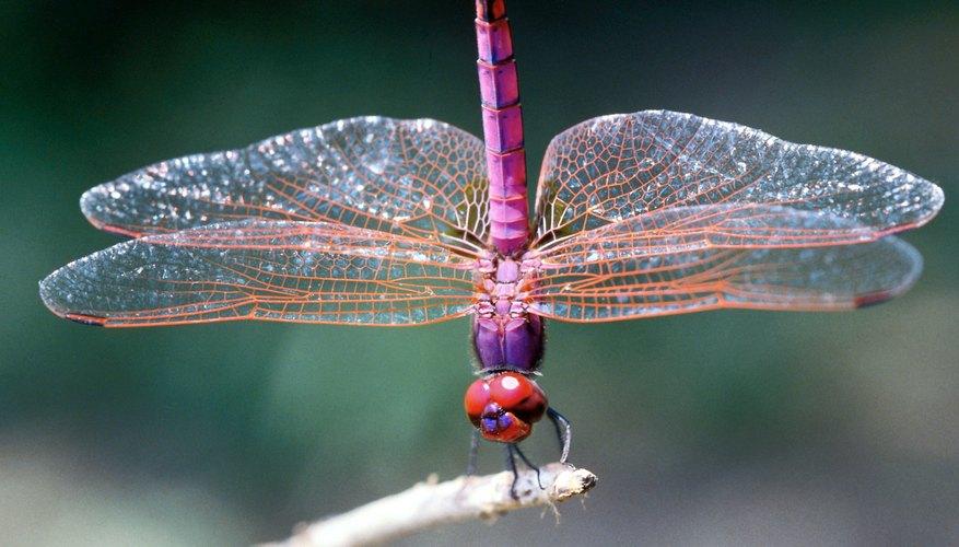 Los niños de nueve años pueden aprender mucho sobre las libélulas.
