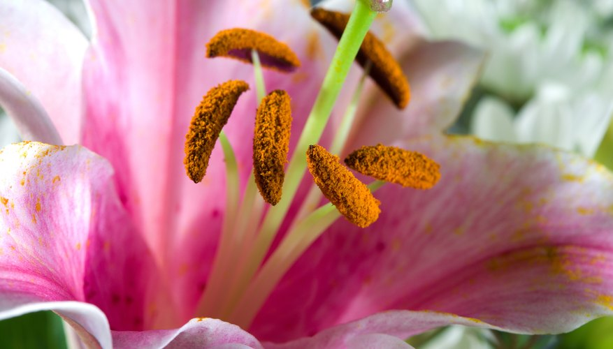 Lilies that are force bloomed may take another full year to bloom again.