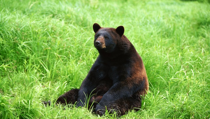 Adult black bears weigh 125 to 500 pounds.