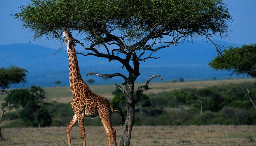 La jirafa es uno de los mejores ejemplos de adaptación evolutiva.