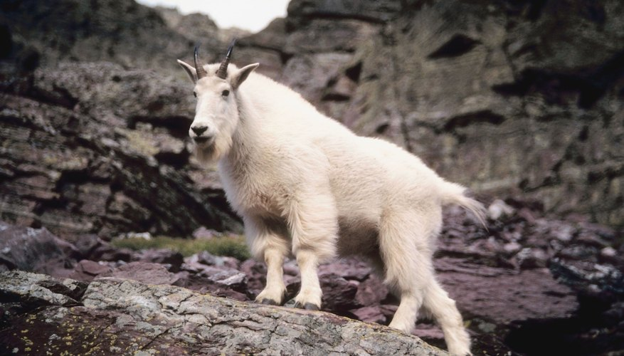 A mountain goat stands on a rocky ledge.