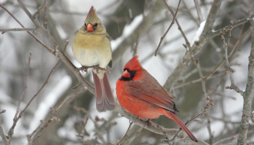A male and female cardinal perch in a shrub on a snowy day.