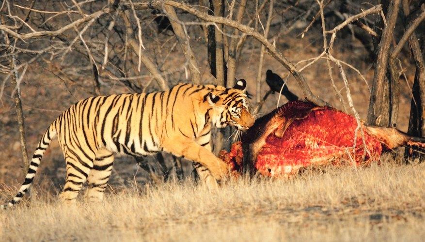 Los tigres son excelentes cazadores.