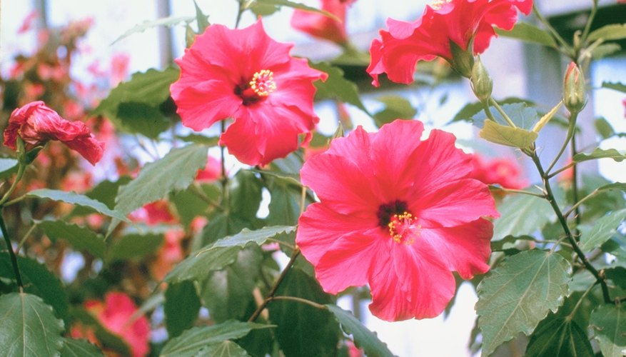 Hibiscus plants, particularly those kept indoors, are prone to whitefly infestations.